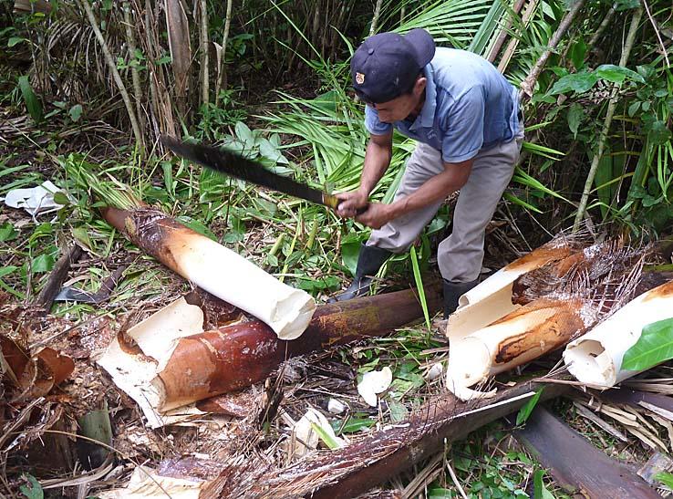 Framtagning av palmmärg