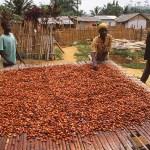 Torkning av kakao. Kakum