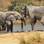 Lekande elefanter. Mole National Park