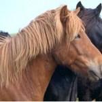Islandshästar. Höfn
