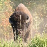 Strax innan anfall! Elk Island National Park