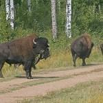 Skogsbison. Elk Island National Park