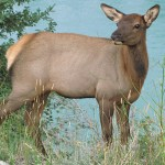 Vitsvanshjort, hona. Jasper National Park (U)
