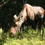 Moose. Pleasant Bay