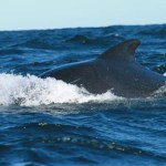 Pilotwhale. Pleasant Bay (NS)