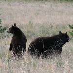 Svartbjörnar. Waterton Lakes National Park (U)