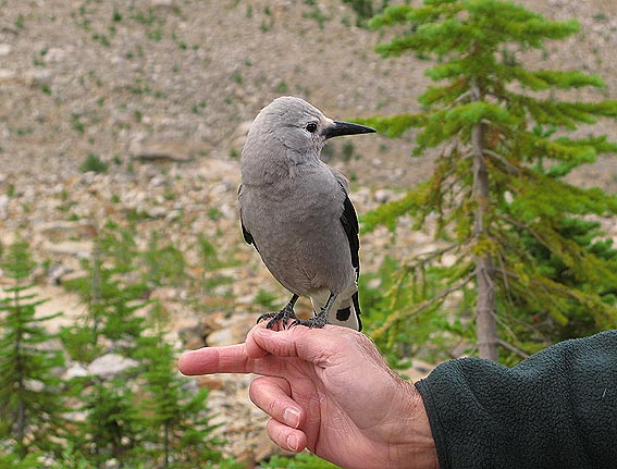 Clark´s Nutcracker. Jasper National Park