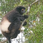 Milne Edwards sifaka. Ranomafana (U)