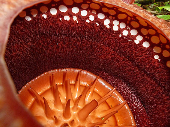 Rafflesia arnoldii. Tanah Rata