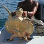 Havssköldpadda med sugfisk. Puerto Escondido