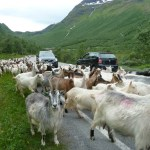 Goats on the road!