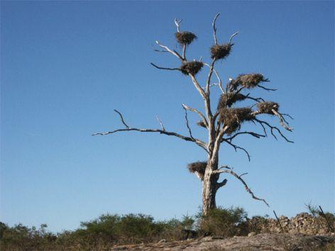Träd med storkbon. Crato