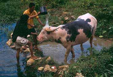 Buffeltvätt. Tana Toraja