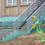 Solros! Barentsburg