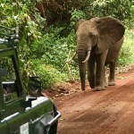 Afrikansk elefant. Lake Manyara