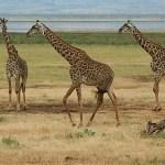 Giraffer. Lake Manyara