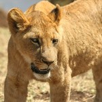Lejon. Ngorongoro National Park (U)