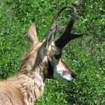 Gaffelantilop, Custer National Park, SD