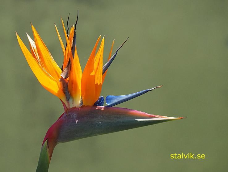 Papegojblomma