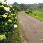 Många vägar kantas av blommande hortensior. Sete Cidades