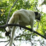 Verreauxs sifaka. Isalo National Park