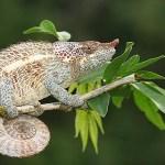 Elefantöra kameleont. Ranomafana (U)