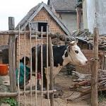 Mjölkning av ko. Höglandet