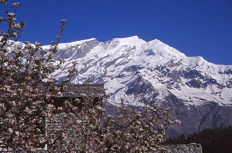 Blommande äppelträd. Byn Marpha