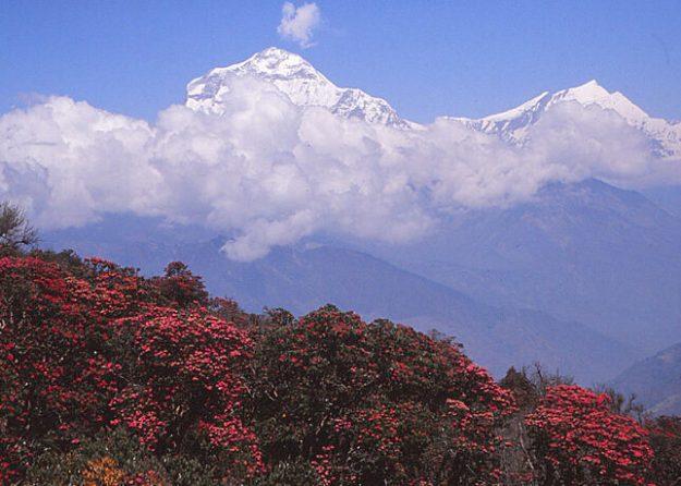 Blommande rhododendron och berget Dhaulagiri, 8 1 67 möh
