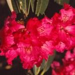 Rhododendron, Nepals nationalblomma