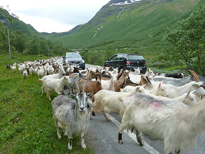 """""""Goats on the road"""". Norangsdalen"""