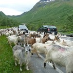 """Goats on the road"". Norangsdalen"