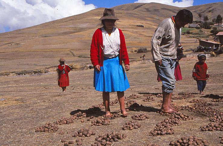 Bearbetning av potatis. Cusco