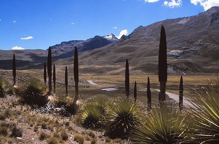 Den sällsynta puya raimondi. Huaraz (U)