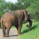 Afrikansk elefant. Imfolozi National Park