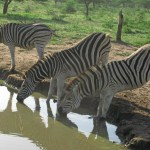 Burchells zebror. Imfolozi National Park