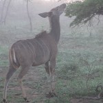 Kuduantilop. Imfolozi National Park