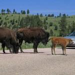 Custer National Park, SD