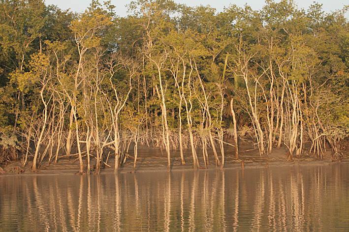 Sundarbans mangroveskogar. Bangladesh (U)