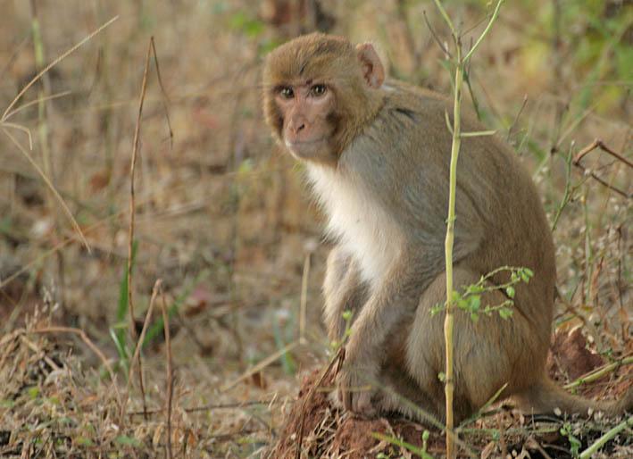 Makak. Bandhavgarh