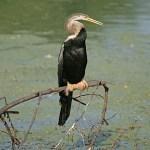 Ormhalsfågel. Keoladeo
