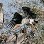 Painted stork. Keoladeo