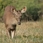 Sambar. Keoladeo National Park (U)