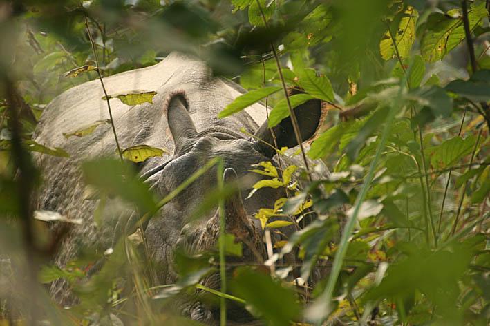 Pansarnoshörning. Chitwan National Park (U)