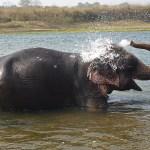 Elefanttvätt. Chitwan