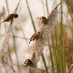 Vävarfåglar. Chitwan