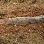 Sumpkrokodil. Chitwan