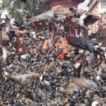 Matning av duvor. Kathmandu