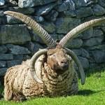 Loghtan-får. Cregneash