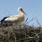 Vit stork. Lubovna
